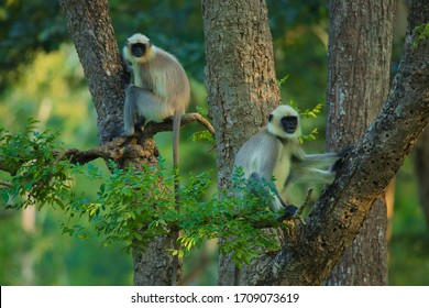 Gray langur , also called Hanuman langur is a genus of Old World monkeys native to the Indian subcontinent