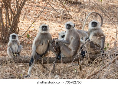 Gray Langur or Hanuman Langur (Semnopithecus) also called Leaf Monkey