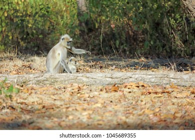 A Gray Langur mother and baby at Kanha National Park.