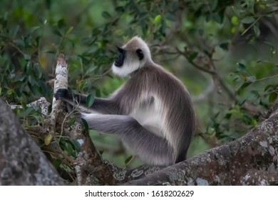 Gray langur sitting on a Tree.Gray langur, also called Hanuman langur is a genus of Old World monkeys native to the Indian subcontinent. find Masangudi ooty Road Tamil Nadu India.