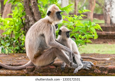 Gray langurs or Hanuman langurs, the most widespread langurs of the Indian Subcontinent, are a group of Old World monkeys, Polonnaruwa, Sri Lanka.