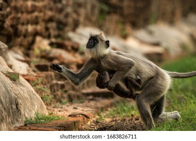 Gray langurs, sacred langurs, Indian langurs or Hanuman langurs in sacred city Anuradhapura, female monkey running on grass with her baby, Sri Lanka, exotic adventure in Asia, ancient temple