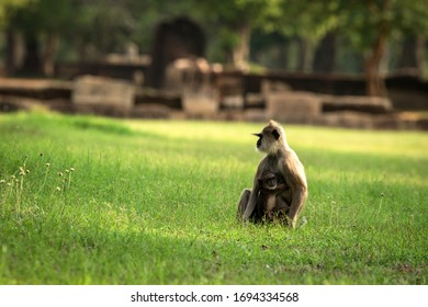 Gray langurs, sacred langurs, Indian langurs or Hanuman langurs in sacred city Anuradhapura, monkey sitting on grass with its baby, Sri Lanka, exotic adventure in Asia, ancient temple