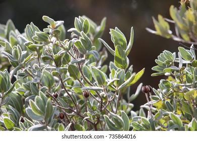 Gray leaved cistus plant, Cistus albidus