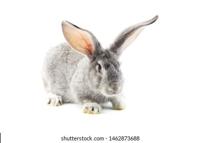Gray little fluffy rabbit isolated on white background. Easter Bunny . Playful hare. Close-up