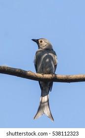 Gray long-tailed birds