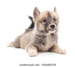 Gray lying puppy isolated on a white background.