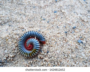 Gray millipedes coil and release poison on the sand