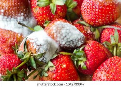 gray mold on red ripe fresh strawberries from farm are found in QC process before sending to sell on the supermarket.