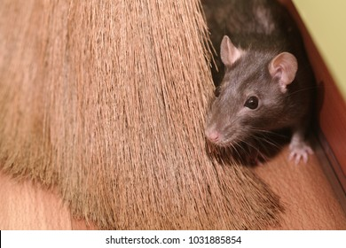 The gray mouse hides for a broom