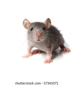 gray mouse isolated on white background
