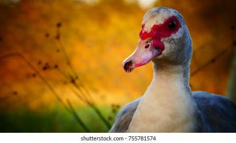 Gray Muscovy female duck posing in evening light