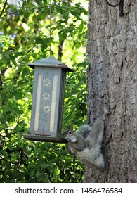 Gray northern squirrel being goofy at the feeder.