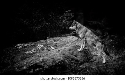 Gray (or Grey) Wolves (Canis lupus) in the Bayerischer Wald National Park in Bavaria, Germany