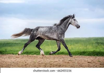 Gray Orlov trotter running free.