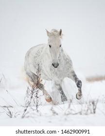Gray orlov trotter in winter, moving forward