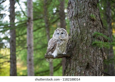 Gray owl sits on a bough of pine against the background of a Siberian coniferous forest. Taiga at Summer. Night winged predator rests on a broken branch. Tomsk Region, Siberia, Russia.