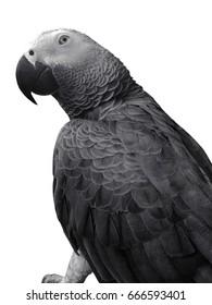 Gray parrot bird