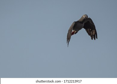 Gray Parrot (Psittacus erithacus) or  Congo grey parrot or African grey parrot in flight with the sky as the backdrop