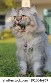 A gray Persian cat in the grass, sticking out his tongue.