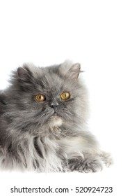 Gray Persian cat isolated on white background