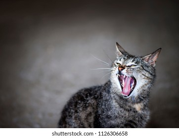 Gray pet cat meowing or yawning with mouth wide open on grey background and copy space