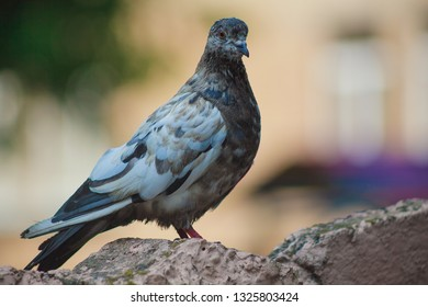 Gray pigeon. City bird