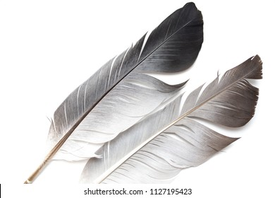 gray pigeon feather on a white background