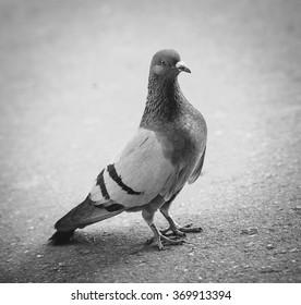 Gray pigeon on the pavement, black-white