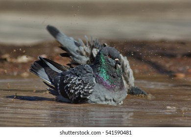 Gray pigeon, or rock dove, bathing in muddy puddle watter, looking very serious