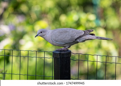 gray pigeon sits on a fence on a green background