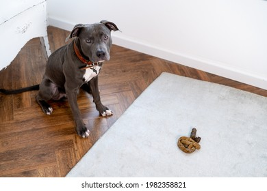 gray pit bull dog, poops on the floor in the room, remorseful guilty dog with poo excreted on the carpet in the living room of the house.