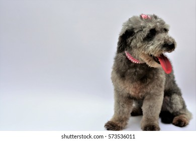 Gray poodle looking aside