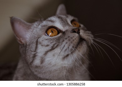 Gray purebred cat sits and looks up