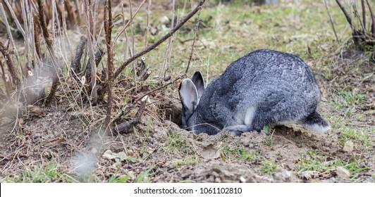 a gray rabbit digs a hole in the garden