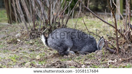 a gray rabbit digs a hole in the garden
