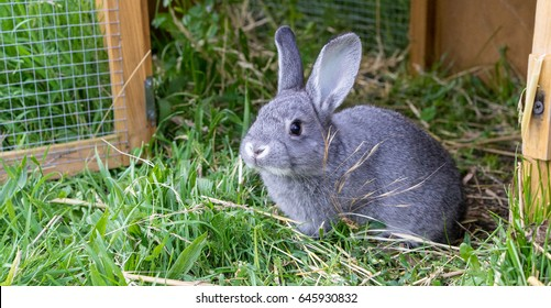Gray rabbit in front of the rabbit barn