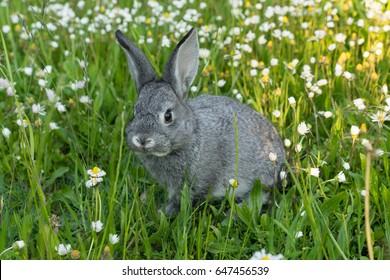 Graues Kaninchen auf der Wiese