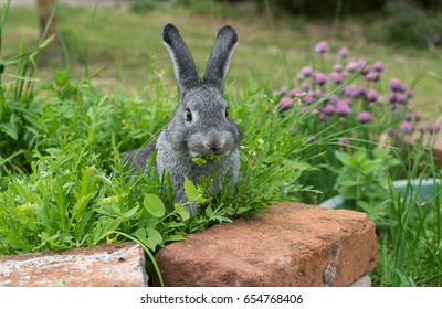 A gray rabbit sits in the herb bed and eats  / little gray rabbit / chinchilla rabbit