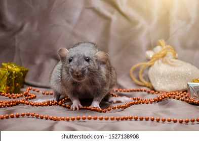 Gray rat agouti standard dumbo on brown background sits near New Year bag and present, with yellow shining, symbol of the year 2020