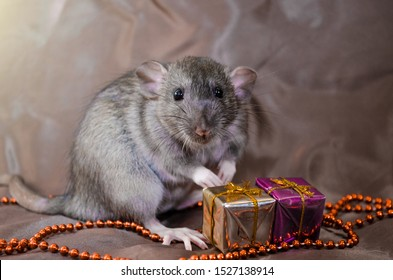 Gray rat agouti standard dumbo on brown background sits near New Year bag and present, with white shining, symbol of the year 2020