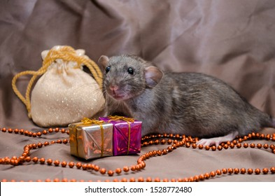 Gray rat agouti standard dumbo on brown background sits near New Year bag and present boxes, symbol of the year 2020