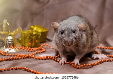 Gray rat agouti standard dumbo on dark background sits near New Year present boxes and bells, symbol of the year 2020