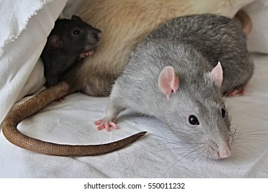 Gray rat with black and white friends on sheet, norway rat, long brown tile, pink ears and paws, soft fur