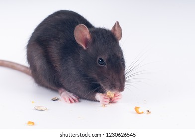Gray rat eating dry food on white background studio shot
