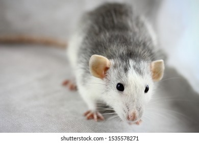 Gray rat on the gray background