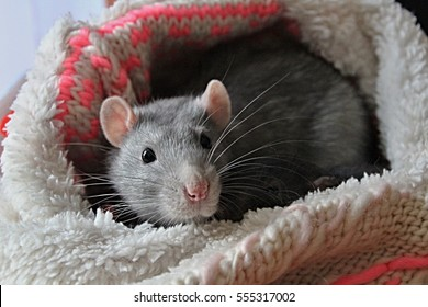 Gray rat with pink nose and ears in hat, white whiskers, dark eyes, norway rat, soft fur
