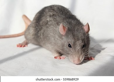 Gray rat with pink paws and ears on white background, soft fur of norway rat, white whiskers, long tail, black eyes