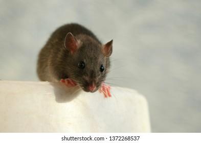 Gray rat portrait