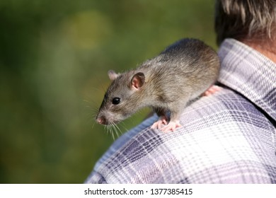 Gray rat sits on the shoulder of a man